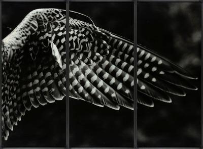 Aile de faucon